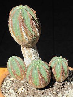 An old Euphorbia hybrid
