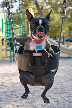 """Will you push me?""  #bostonterrier"