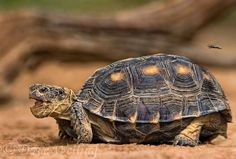 Texas tortoise (Gopherus berlandieri)