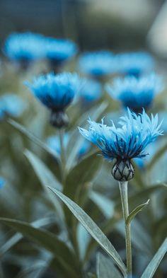 Flowers, field, flower buds.