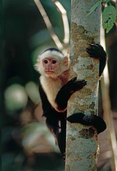 Waiting For You, Costa Rica, Capuchin Monkeys, Nature, Travel, Animals, Destinations, Instagram, Naturaleza