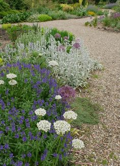 Allium Nigrum and a very wide selection of allium bulbs in the UK, try Bloms. Cool colors in a hot garden: allium Nigrum is planted with veronica 'Kapitan', stachys byzantia, and a cristophii. Dry Garden, Gravel Garden, Garden Paths, Gravel Path, Gravel Front Garden Ideas, Border Garden, Pebble Garden, Garden Art, Vegetable Gardening