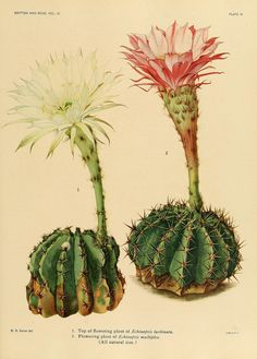 https://flic.kr/p/e489MP | n88_w1150 | The Cactaceae :. Washington :Carnegie Institution of Washington,1919-1923.. biodiversitylibrary.org/page/32127355