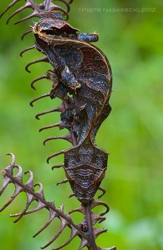 satanic leaf tailed gecko   leaf tailed gecko with wings   Leaf tail geckos are high masters of ...