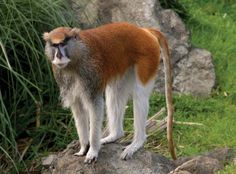 Patas monkey are the fastest primates on land with speeds up to 34 mph (55 km/h) .