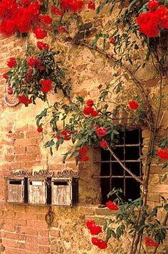 Cinque Terre, Italy / Wall with roses La Spezia province , Liguria region.