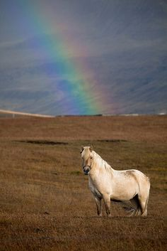 This is actually a common sight in Icelandic nature, believe it or not. Rainbows is a common a sight as Icelandic horses in Iceland, where the weather is unpredictable and often with a rain drop or two. That is why rainbow and the icelandic riding horses often can be spotted in the horizon in Iceland.