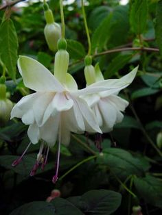 Fuchsia Greeni Little Flowers, Beautiful Flowers, Freesia Flowers, Fuchsia Flower, Hanging Flower Baskets, White Gardens, Flower Fairies, My Secret Garden, All Plants