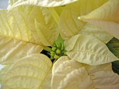 Poinsettia. Actually not all that toxic if ingested.  Can cause stomach irritation, resulting in vomiting and diarrhea.