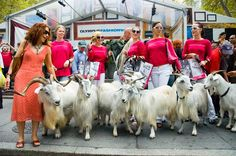 Cashmere goats at Fashion Week for Saks
