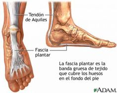 The plantar fascia, seen from the bottom and side of the foot