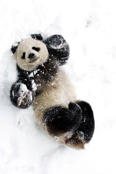 Panda in the Snow! Looks like he/she is very happy....