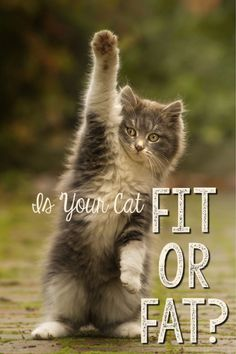 Is Your Cat Fit or Fat? Here's some information on how to tell if your cat is packing too many pounds and, if so, how to get the weight off.