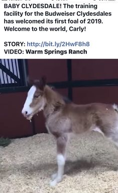 Warm Springs Ranch, Clydesdale Horses, Best Commercials, Bud, Cute Animals, Horse, Cute Funny Animals, Clydesdale, Gem
