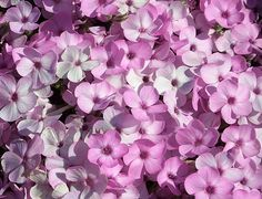 Phlox ´Vivid´ Garden, Plants, Lawn And Garden, Gardens, Plant, Outdoor, Home Landscaping, Tuin, Planting