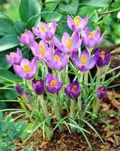 54126 Crocus tommasinianus Barr´s Purple