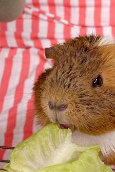 Guinea pigs eat Lettuce #GuineapigseatLettuce #Guineapigs #Guineapigsdiet