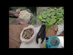 Medicinal Rice B4 Formulations for Cerastium Allergy: Pankaj Oudhia's Me...
