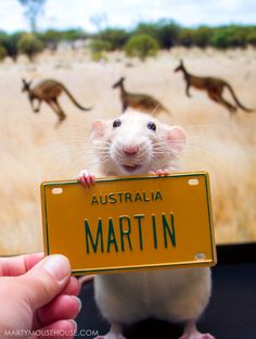 G'Day! From Marty the rat