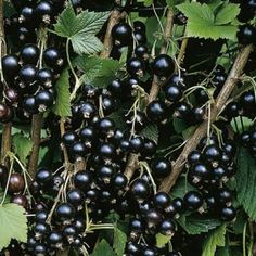 Blackcurrants Ben Sarek (Early cropper) Very high yielding variety with large fruit and easy to pick. Compact bushes with good frost and mildew resistance. There are around 150 types of blackcurrants and all are named after mountains.