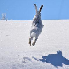 Photography by © (Tom Koerner). Arctic hare I. Snowshoe Hare, Arctic Hare, Animal Tracks, Black Tree, Grand Teton National Park, Wild Nature, Wild Horses, Wyoming, Toms