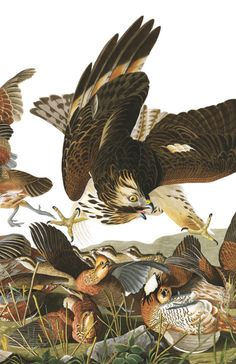 Virginian Partridge   Audubon