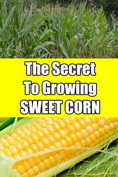 The Secret To Growing Great Sweet Corn. Tips and hints to planting and growing a great crop of sweet corn. Organic Fertilizer, Organic Gardening, Gardening Tips, Veg Garden, Edible Garden, Vegetable Gardening, Veggie Gardens, Growing Veggies, Planting Vegetables