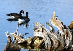 Canada Geese Swim Around Driftwood by Nik, Royalty free stock photos #65486875 on Fotolia.com