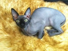 Sphinx Cats Rare Cats, Cats And Kittens, Cornish Rex Cat, Sphinx Cat, Cat Whisperer, F2 Savannah Cat, Here Kitty Kitty, Sphynx, Cat Breeds