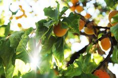 Apricots from Piemonte