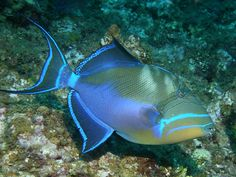 Trigger Fish | queen triggerfish belize picasso triggerfish egypt arabian surgeonfish ...