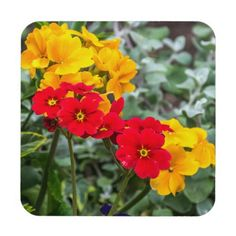 Red and yellow primroses hard plastic coasters