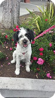 Palo Alto Ca Tibetan Terrier Cocker Spaniel Mix Meet Gilligans Island Maryann A Dog For Adoption Http Www Adopt Pets Unique Dog Breeds Super Cute Dogs