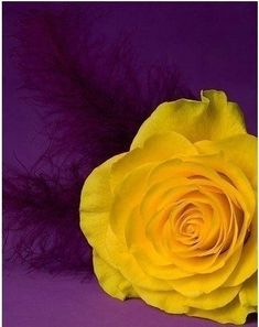 ~ It's a Colorful Life ~ — Colors ~ Purple and Yellow The Purple, Purple Yellow, Shades Of Purple, Yellow Roses, Yellow Theme, Purple Rain, Pink Roses, Color Combos, Color Schemes