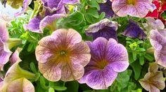 Petunia 'Crazytunia Stonewashed' Million Bells, Cape Gooseberry, Flower Pots, Flower Ideas, Begonia, Live Plants, Hanging Baskets, Summer Flowers, Petunias