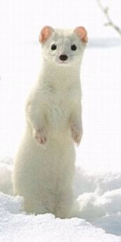Ermine - Mustela erminea - fur Dolasilla's magic armor was made of in GATES series. Changes colors by season; Dolasilla's fate indicator on the battle field