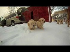 If this video doesn't make you want a Golden, nothing will.   :) Rolling Oaks Goldens  56876 248th Street  Litchfield, MN 55355  Phone: 320-693-6278 - See more at: http://www.rollingoaks.com/a-day-at-rolling-oaks/#sthash.ZN1m1ERr.oSFhBAMZ.dpuf