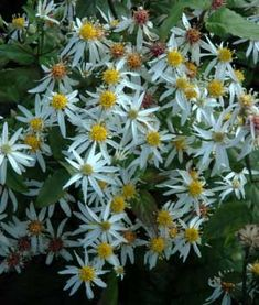Spray Asters: White, lavender, hot pink, red & purple.  Daisy like; Small flowers, best for filler; Year round $$
