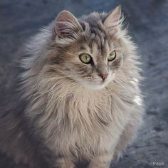 The oldest archaeological evidence for domesticated cats was found on the Greek island of Cyprus, where several animal species including cats were introduced by 7500 BC. Further, at the Neolithic site of Shillourokambos, a purposeful cat burial was f Maine Coon Kittens, Cats And Kittens, Crazy Cat Lady, Crazy Cats, I Love Cats, Cool Cats, What's New Pussycat, Beautiful Kittens, Animal Species