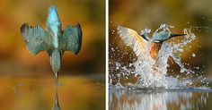 After 6 Years And 720,000 Attempts, Photographer Finally Takes Perfect Shot Of Kingfisher   Bored Panda