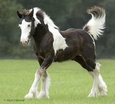 draft horses, originally bred in Clydesdale Scotland.Clydesdale draft horses, originally bred in Clydesdale Scotland. Beautiful Horse Pictures, Beautiful Horses, Animals Beautiful, Beautiful Soul, Painted Horses, Pretty Horses, Horse Love, Cheval Pie, Dog Cat