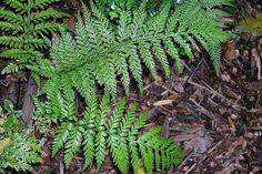 Learn about structural features, habitat and distribution of some of New Zealand's native ferns in this slideshow. Native Gardens, Learning Resources, Native Plants, Forests, Ferns, Biology, Habitats, New Zealand, Nativity