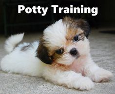 Shih Tzu Puppies. How To Potty Train A Shih Tzu Puppy. Shih Tzu House Training Tips. Housebreaking Shih Tzu Puppies Fast & Easy. Share this Pin with anyone needing to potty train a Shih Tzu Puppy. Click on this link to watch our FREE world-famous video at ModernPuppies.com