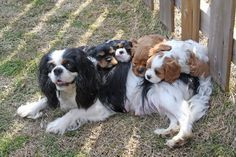 Blenheim Cavalier King Charles Spaniel Jewelcrofts CEO 6 weeks old--with mother and puppies.jpg (2592×1728)