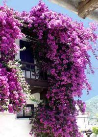 Purple coloured bougainvillea in Skopelos, Greece Bougainvillea Trellis, Wisteria, Beautiful Gardens, Beautiful Flowers, Landscape Concept, Desert Plants, My Secret Garden, Plantation, Dream Garden