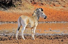 Zebra at Mokala National Park in South Africa - photo from planetware   ...probably a Burchell's Plains zebra...