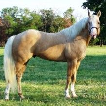 Frostburns is well muscled  2001 Registered AQHA Palomino Stallion standing at Palmers Quarter Horses  Frostburns shows lots of ability and a really good mind and is steeped in the Bloodines of Champions of speed and stamina to assure many visits to the pay window.