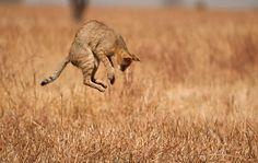 The Jump - Jungle Cat (Felis chaus)  ツ pic.twitter.com/dO1MRcdlyO
