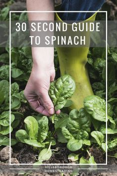 When planning my garden, I hated having to pull out all my seed packets, check the pH, hours of sunlight, spacing, planting times...should I start indoors or direct sow outdoors? So I put together this handy quick sheet, this 30-second guide for growing Spinach. Everything you need in one, convenient location.