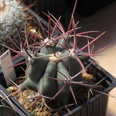 Ferocactus Rectispinus.